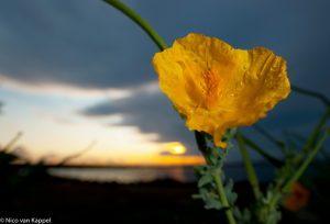 Gele Hoornpapaver bij zonsondergang met 20mm lens en invul flits - Fotograaf: Nico van Kappel