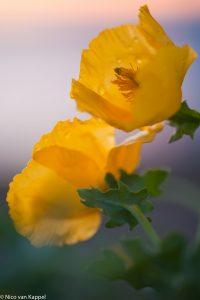 Gele hoornpapaver net na zonsondergang. - Fotograaf: Nico van Kappel