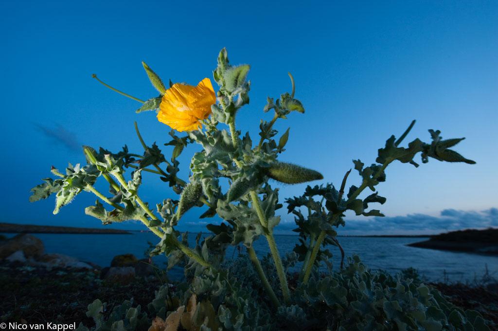 Gele hoornpapaver, een bijzondere kustplant