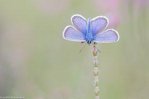 In de vroege ochtend warmen de vlinders op en kun je ze met gespreide vleugels aantreffen. - Fotograaf: Judith Borremans