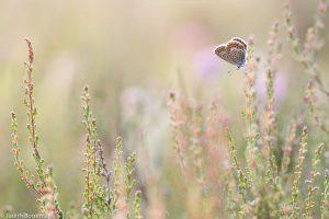 Een heideblauwtje in zijn natuurlijke omgeving, een heideveld. - Fotograaf: Judith Borremans