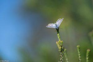 De kleur van de blauwe lucht harmonieert met de kleur van de vlinder. - Fotograaf: Ron Poot