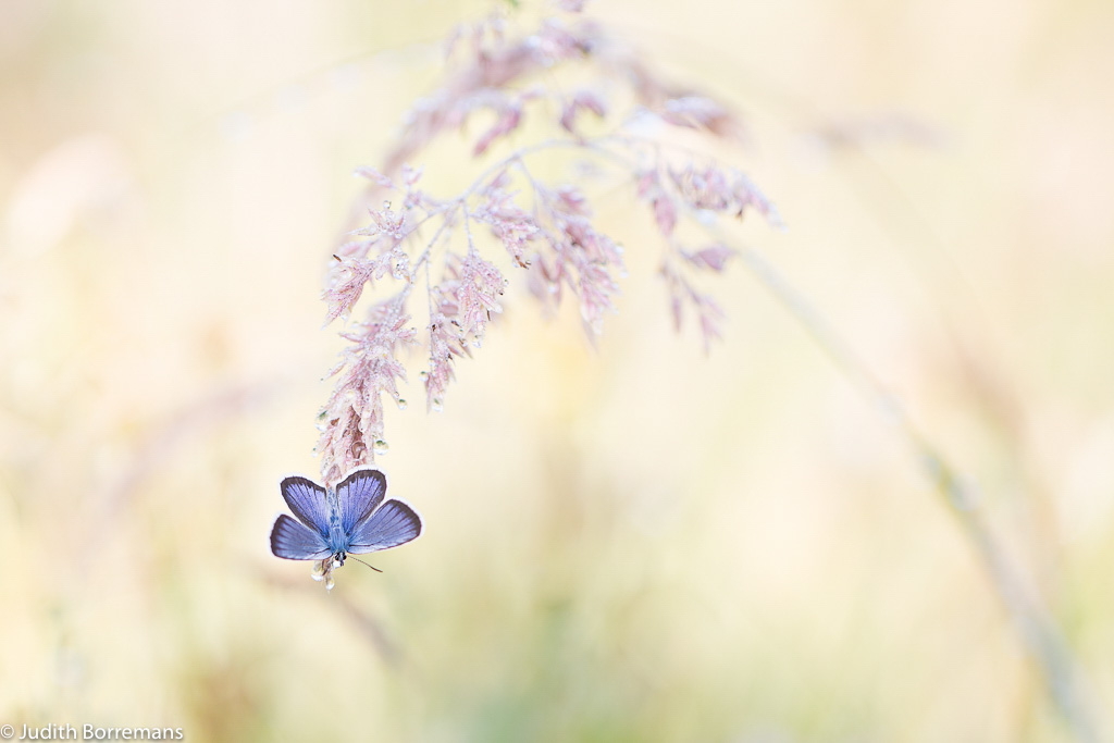 Heideblauwtje, het juweeltje van de heidevelden