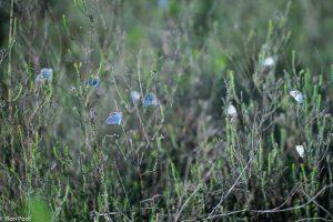 Slaapplaats van heideblauwtjes, de vlinders warmen zich op in het eerste zonlicht. - Fotograaf: Ron Poot