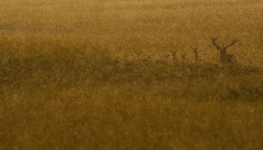 Herten in het gouden licht