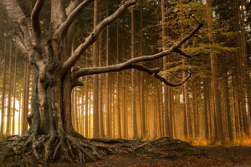 Een oude beuk in het bos bij Bakkeveen met het zonlicht van de opkomende zon op de bomen in de achtergrond.