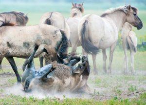 Als je er de tijd voor neemt kun je het natuurlijk gedrag van de paarden zien en fotograferen. - Fotograaf: Nico van Kappel