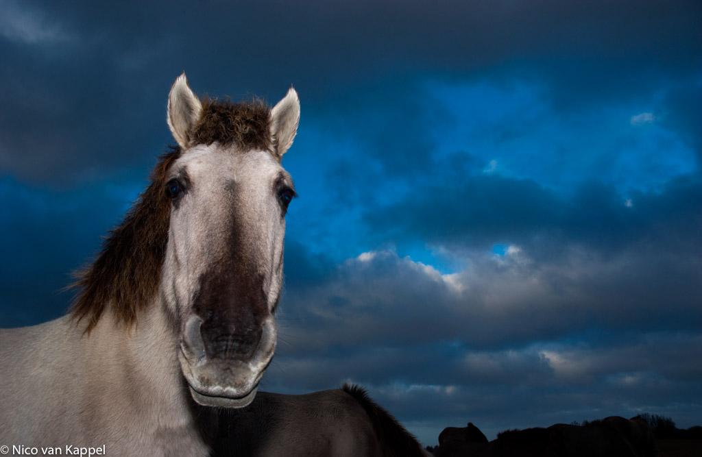 De konik, een oeroud raspaardje