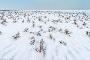 Zeekraal in de winter. - Fotograaf: Nico van Kappel
