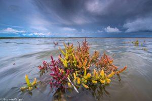Verkleurend zeekraal met hoogwater. - Fotograaf: Nico van Kappel