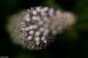 Met geringe scherptediepte kun je een andere sfeer creëren bij het fotograferen van de bloemtros. - Fotograaf: Ron Poot