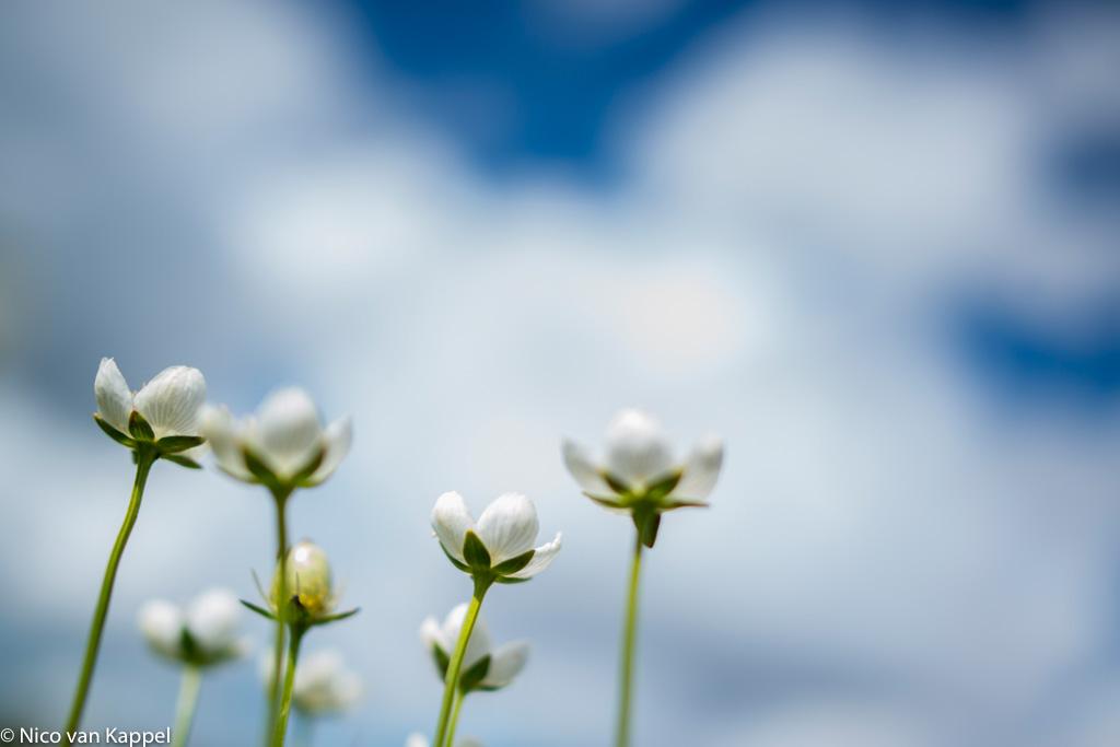 Parnassia, juweel onder de zomerbloeiers