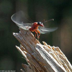 Deze koningin vertrekt voor de bruidsvlucht. Doodat de zon haar aantipt, lijken haar vleugels wel een sluier. - Fotograaf: Will van den Brand