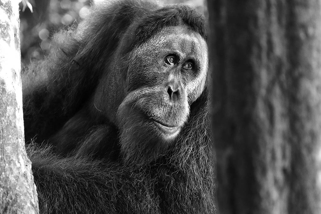 Orang Oetan, Sumatra Rainforest