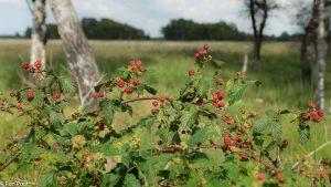 De vruchten geven de nazomer kleur in het landschap. - Fotograaf: Ron Poot