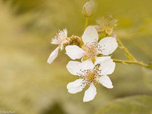 De hele zomer kom je de bloemen van de braam tegen, van wit tot roze. - Fotograaf: Ron Poot