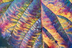 Het is verrassend hoeveel kleuren een braamblad in de nazomer krijgt. - Fotograaf: Ron Poot