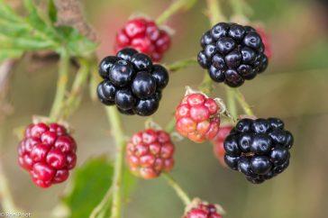 Braam vruchten