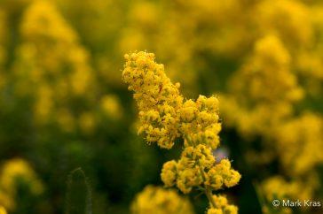Geel walstro