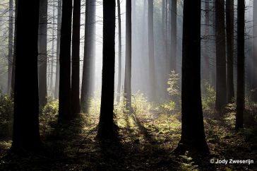 Verstrooiing van tegenlicht in het bos