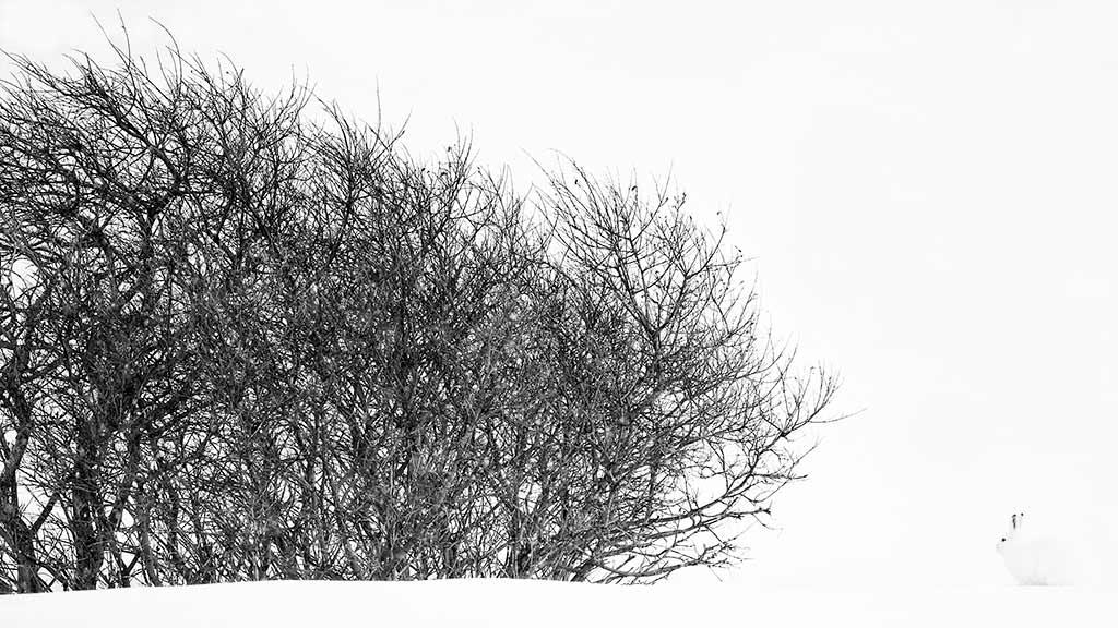 Sneeuwhaas, Noorwegen