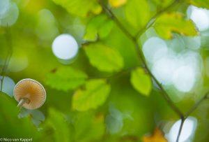 De porseleinzwam is kenmerkend voor beukenbossen. - Fotograaf: Nico van Kappel