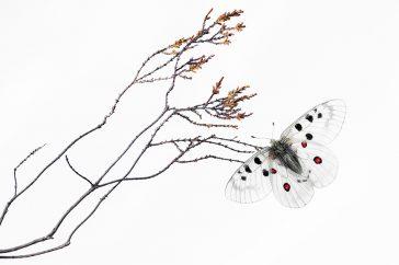 Apollovlinder op verdroogde heide, Finland