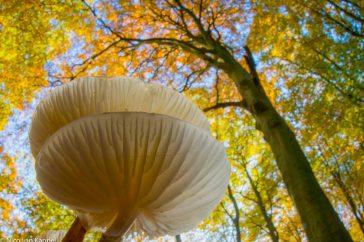 Porseleinzwam in een oud beukenbos tijdens de herfst