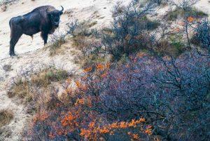 Wilde wisent en duindoorn in de duinen van Nationaal Park Zuid-Kennemerland. - Fotograaf: Nico van Kappel