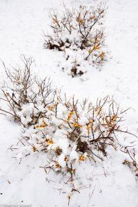 Duindoorns in de sneeuw. - Fotograaf: Nico van Kappel