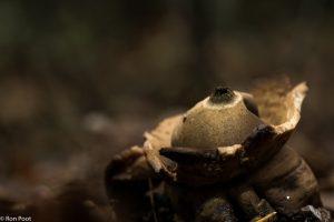 De aardster is een zogenaamde buikzwam, herkenbaar aan het bolle middenstuk waar de sporen ontstaan. - Fotograaf: Ron Poot