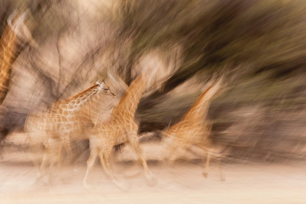 Giraffe Kalahari