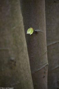 Jong beukenblad en oude stammen in het voorjaar. - Fotograaf: Nico van Kappel