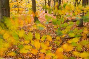 Herfst in Landgoed Mildenburg met bladeren in de wind. - Fotograaf: Nico van Kappel