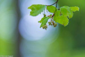 Beuk in bloei in voorjaarsbos. - Fotograaf: Nico van Kappel