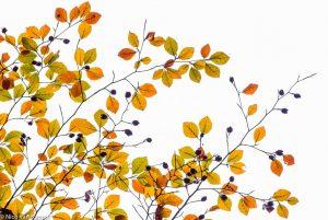 Verkleurende beukenbladeren in de herfst. - Fotograaf: Nico van Kappel