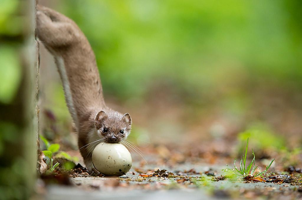 Hermelijn met een ei van een wilde eend