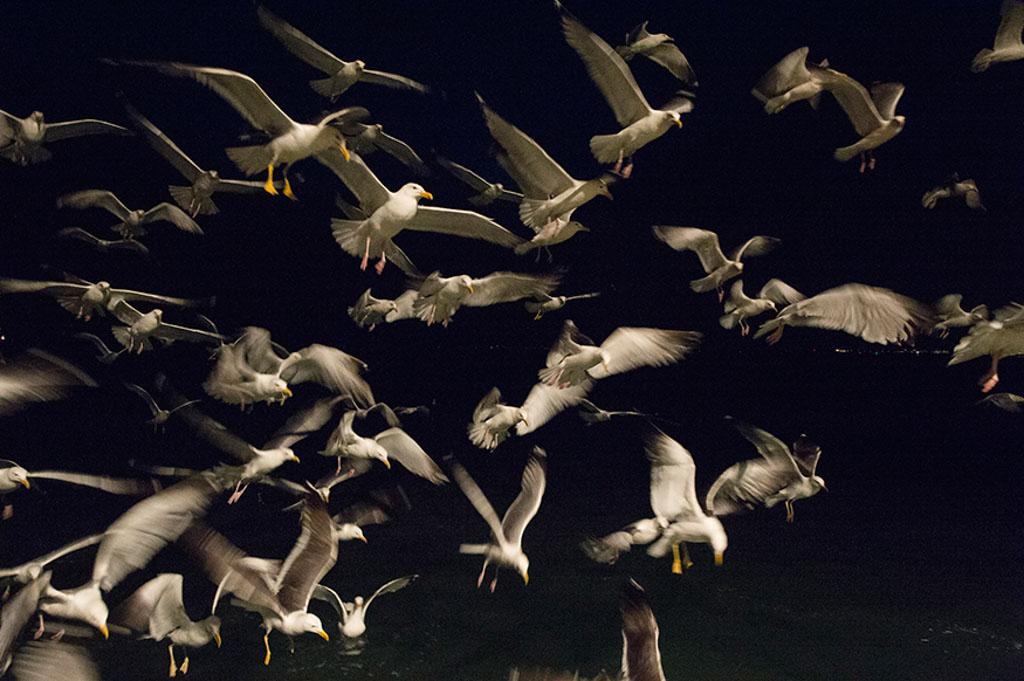 Zilvermeeuwen die een vissersboot volgen tijdens het nachtelijk vissen