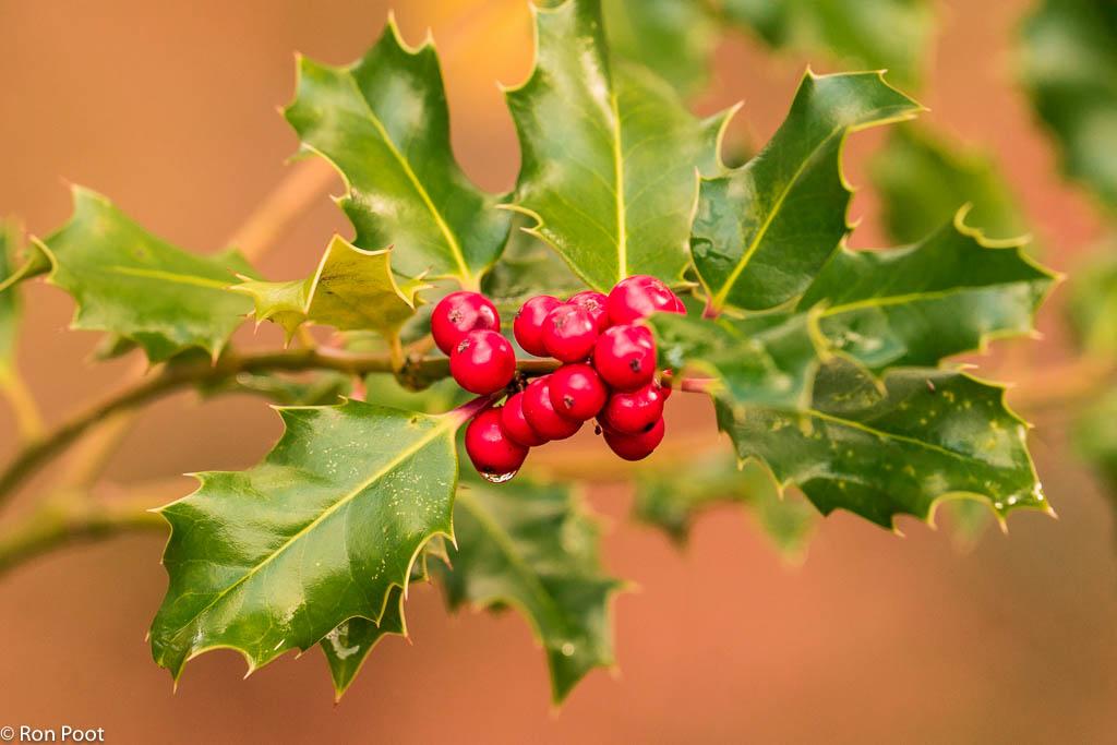Hulst, een evergreen