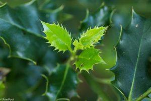 De zachte kant van hulst: jong blad in het voorjaar. - Fotograaf: Ron Poot