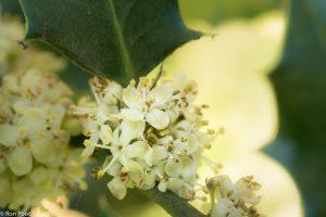 De mannelijke bloemen hebben meeldraden met stuifmeel. - Fotograaf: Ron Poot