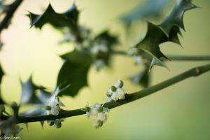 De vrouwelijke bloemen vormen later de bessen. - Fotograaf: Ron Poot