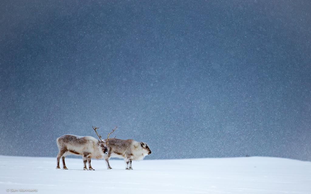 Rendieren in sneeuwstorm