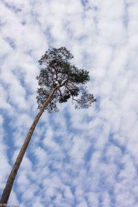 Een eenzame den op een kapvlakte. Tegen wolkenlucht.  - Fotograaf: Ron Poot