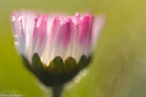 Een roze variant van het madeliefje. - Fotograaf: Nico van Kappel