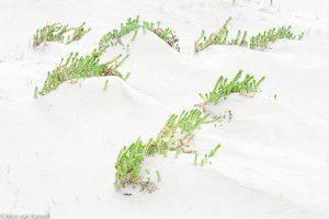 Zeewolfsmelk, planten op het strand. - Fotograaf: Nico van Kappel