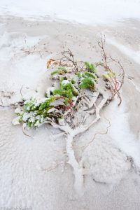 Extreem. De plant leeft op het randje van een deels weggeslagen duin; in de winter na een sneeuwbui. - Fotograaf: Nico van Kappel