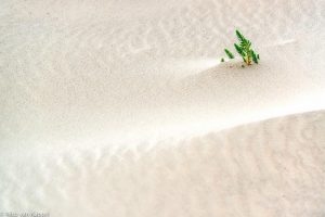 Zeewolfsmelk planten in jonge duinen. - Fotograaf: Nico van Kappel