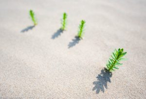 Jonge planten op het strand. - Fotograaf: Nico van Kappel