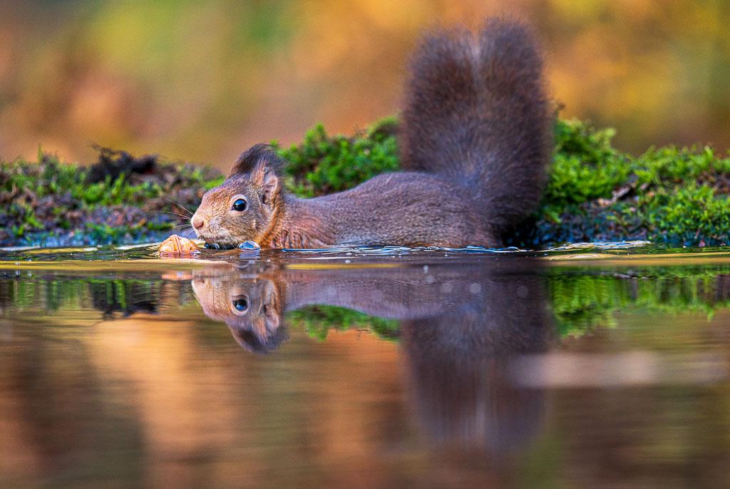 Een zwemmende eekhoorn, zou het viraal gaan? Ik zou hem nooit delen, want de scherpte is onjuist.